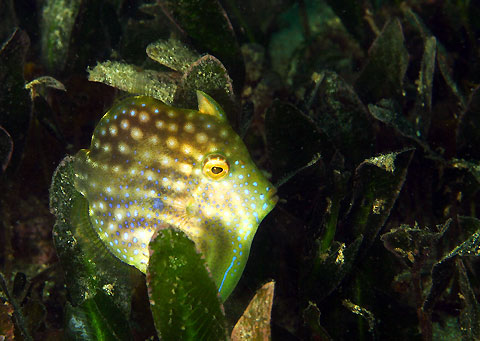 Pygmy Leatherjacket