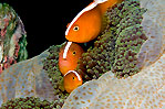 Trio Anemonefishes
