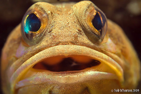 Jawfish Face