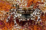 Zebra Crab and eggs