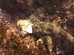 Wobbegong Shark vs Octopus