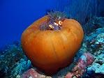 Nemo and Shrimp on Anenome