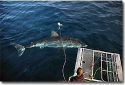 Great White Shark, cage diving at Neptune Island. Port Lincoln, South Australia