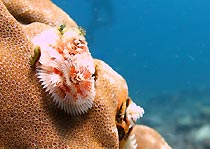 Christmas tree Worm