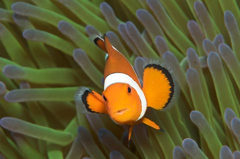Ubiquitous cute Clownfish