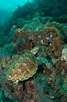 Sipidan Green Turtle