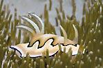 Chromodoris coi