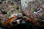 Fighting Scorpionfish