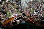 Fighting Scorpionfish