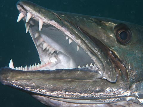 Antes de meter las manos en las fauces de un pez dentado para liberar señuelo...  Barracuda
