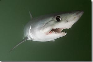 Porbeagle, a vulnerable shark species. ARKive. Image copyrights by Andrew Murch