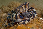 Blue-ringed Octopus with Eggs