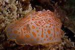Popeye the Nudibranch