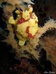 Balicasag Frogfish