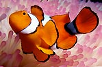 True Clownfish