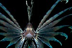 Charging Lionfish