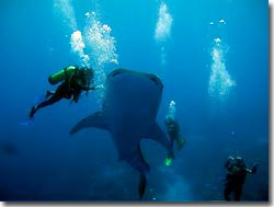 Whaleshark and divers, Indian Ocean, Australia