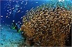 Diver Amongst Fish