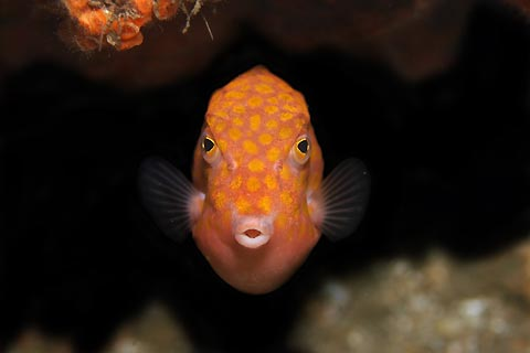 Boxfish Under a Ledge