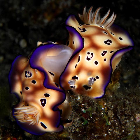 Nudibranchs Mating