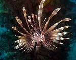 Majestic lionfish