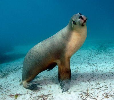 Australian Sea Lions - what a buzz!