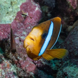 Anemone Fish at the Great Barrier Reef, Queensland, Australia