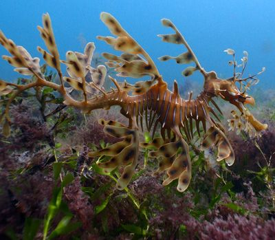 Rapid Bay Jetty - Leafy Seadragon Heaven
