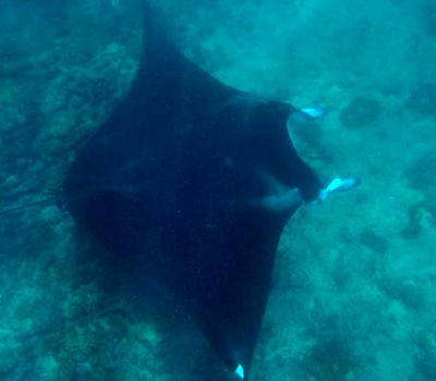 Snorkeling with Manta Rays and a 4-year old - Ningaloo Reef