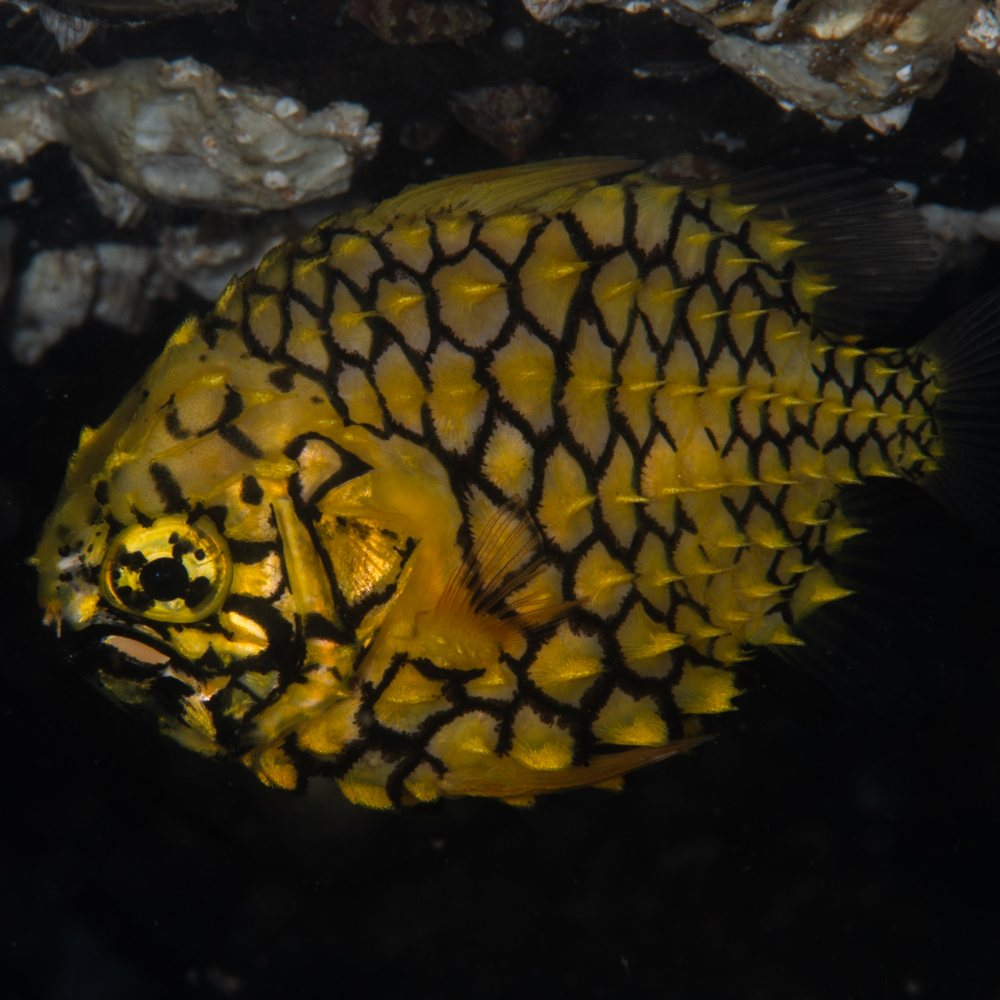 Pineapple Fish (Cleidopus gloriamaris) - The Story behind 'Pineapple Swirl' by Louise Nott. Winner of the Aquatic Abstracts, underwater Tour 2020