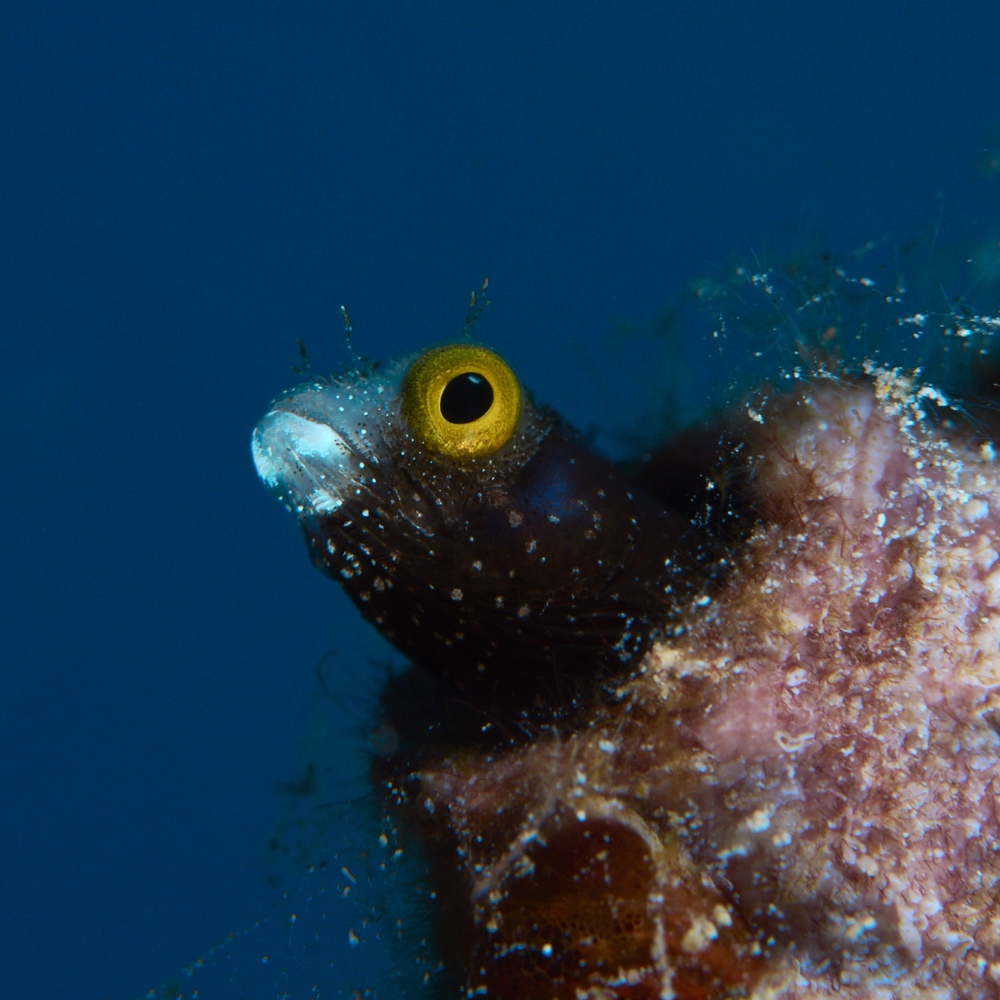 Spinyhead Blenny with Blue Background