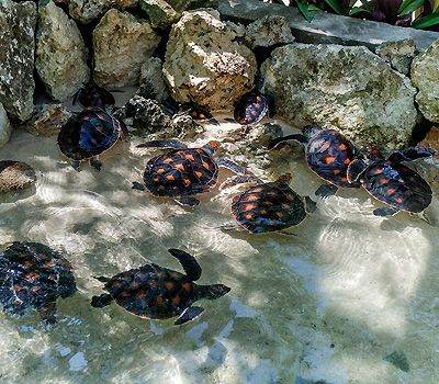 A Turtle Nursery At Wakatobi