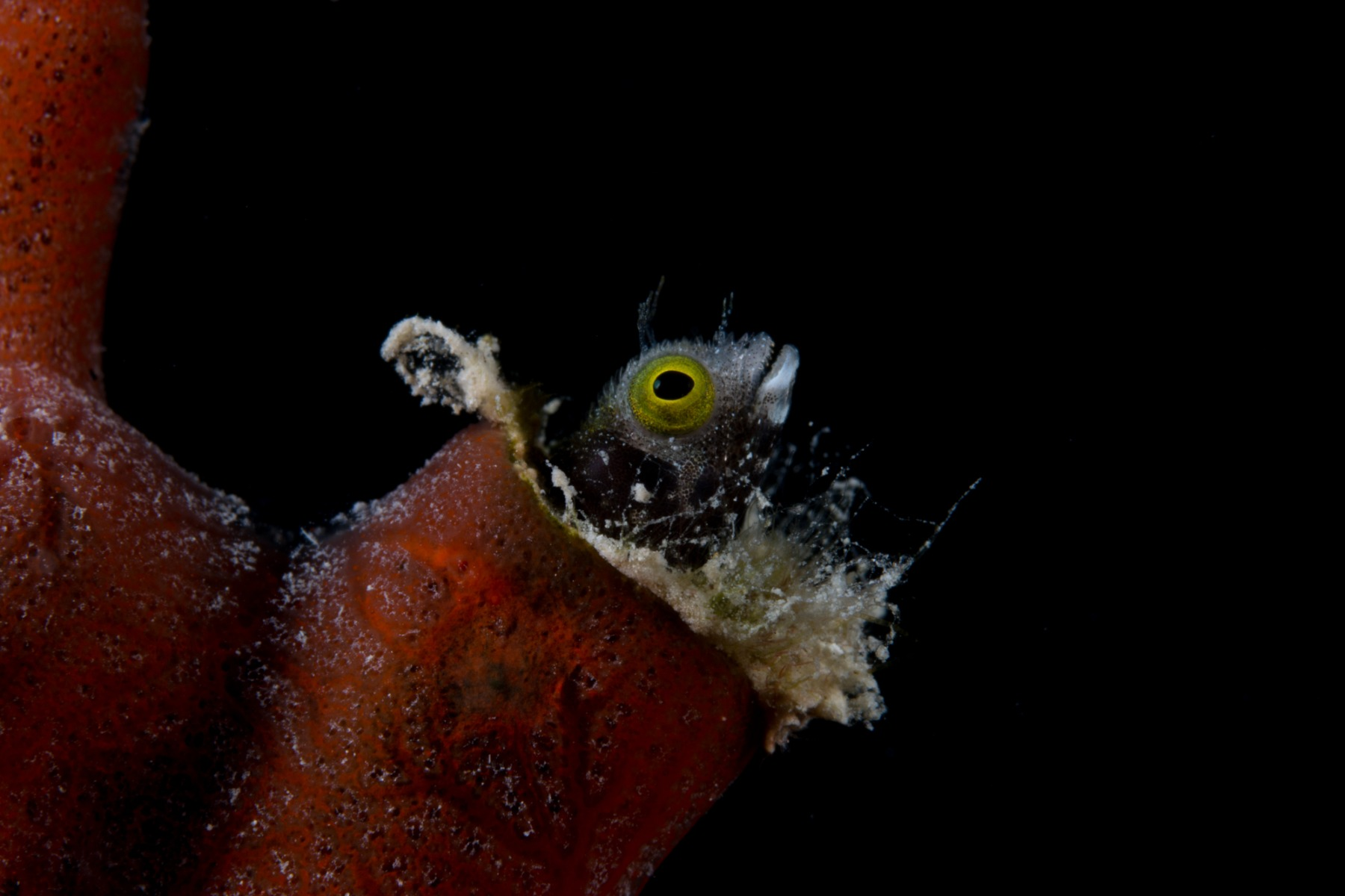 Spinyhead Blenny (Acenthemblemaria spinosa) with a black background