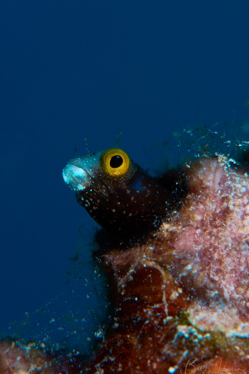 Spinyhead Blenny (Acanthemblemaria spinosa)with blue background