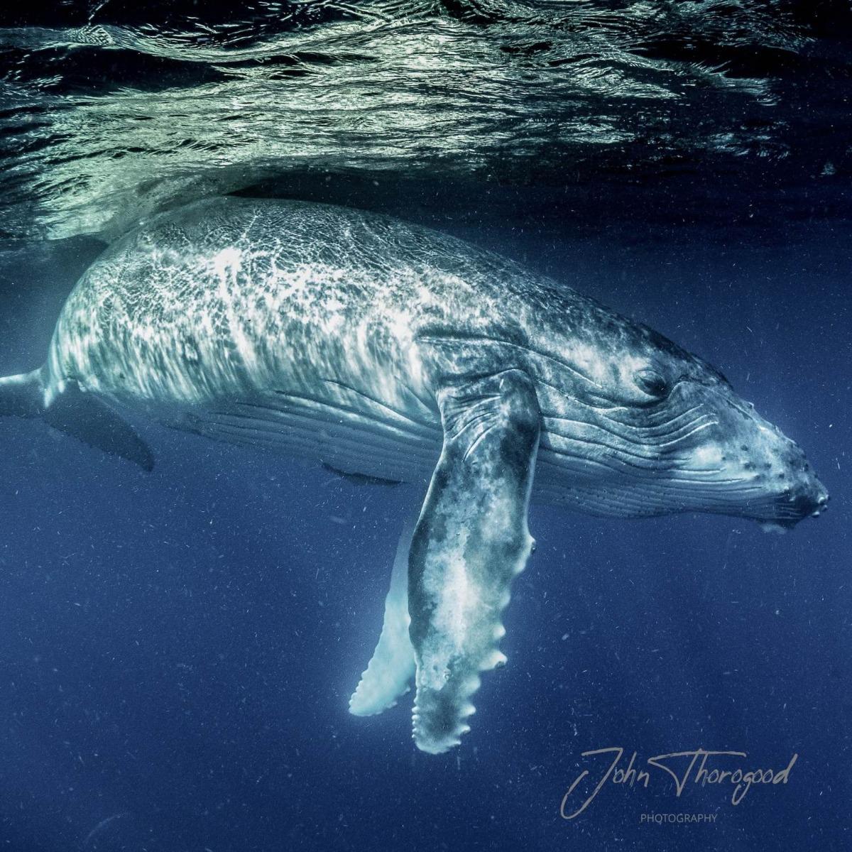 Swimming with Humpback Whales in Tonga. John Thorogood