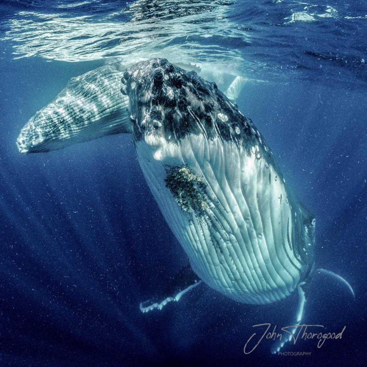 Humpback Whale in Tonga. John Thorogood