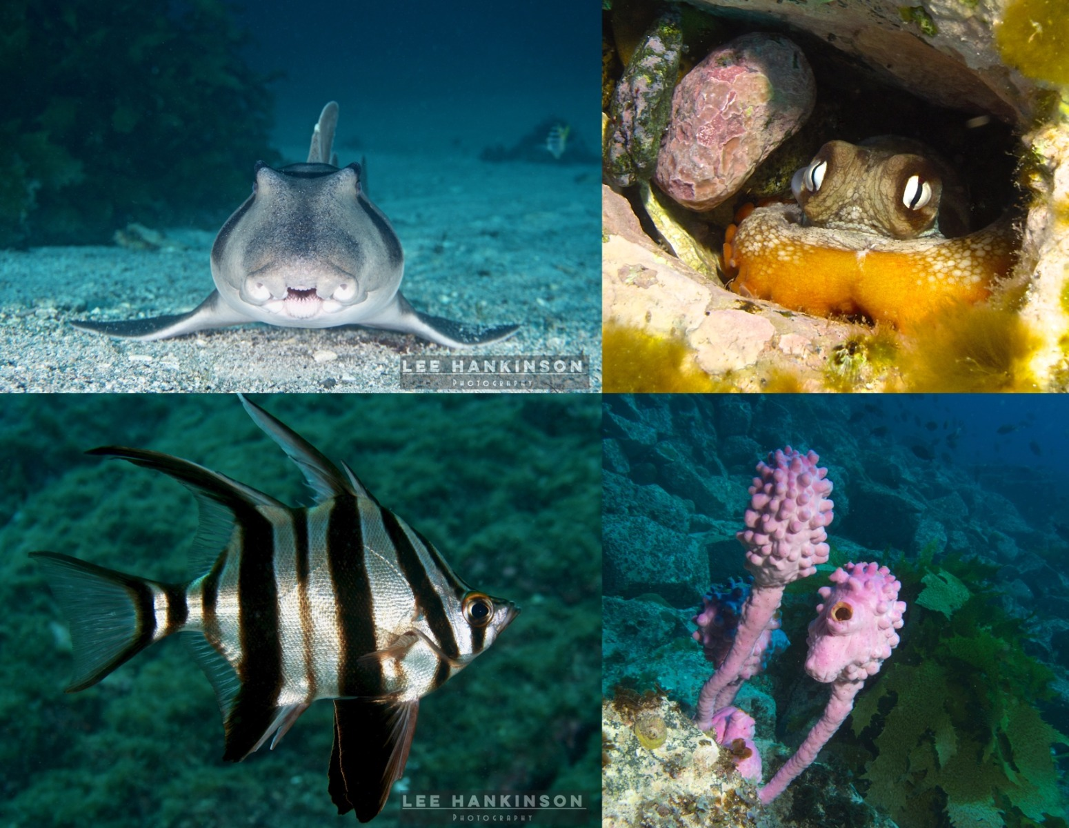 Other marine life at Barunguba such as Port Jackson Shark, Common Sydney Octopus, Old Wife Fish and Sea Tulips
