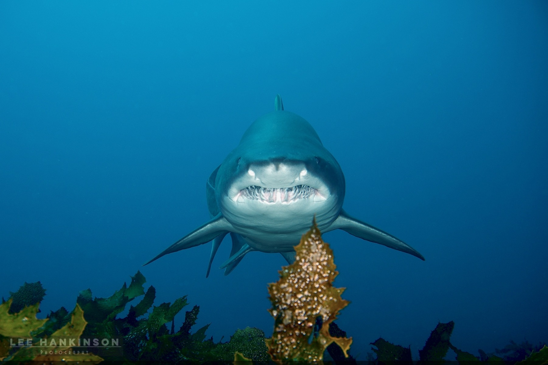 Grey Nurse Shark making a b-line to my location. Staying glow and still offers close encounters