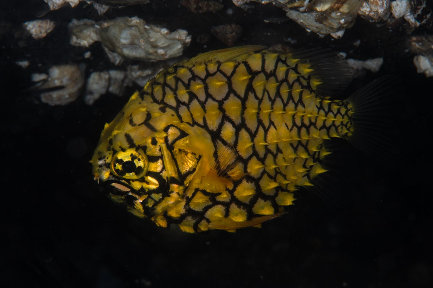 The Pineapple Fish. The Pineapple fish is easily recognised by its yellow coloured body with scale margins outlined in black forming a pattern similar to that of a pineapple. The scales are very tough, acting as armour.