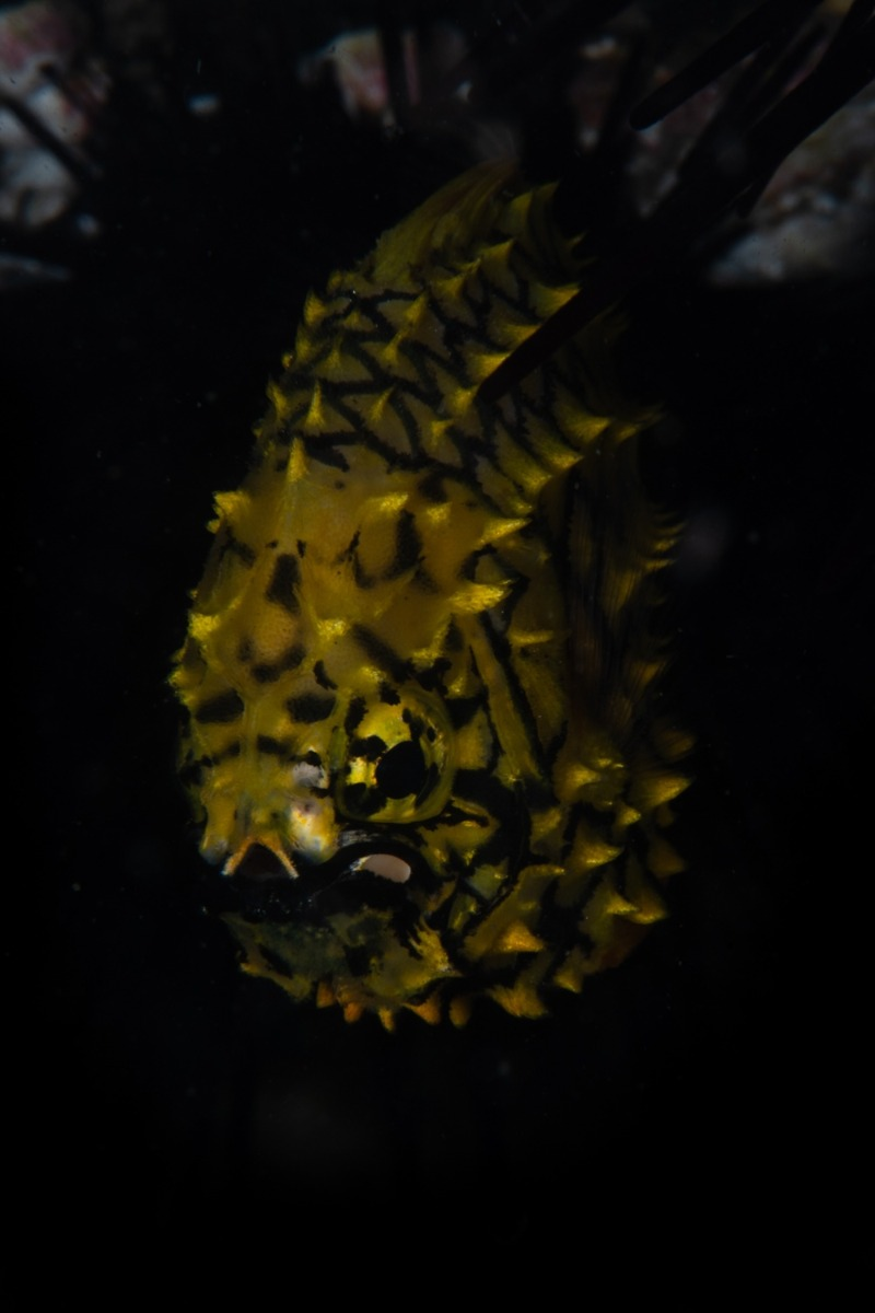 Pineapple Fish - Cleidopus gloriamaris - by Louise Nott