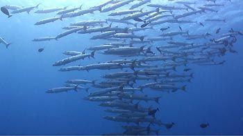 Barracudas at Wakatobi