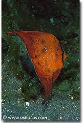 A juvenile batfish, Bali