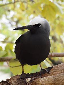 Black Noddy a plenty, Heron Island. Heron Island Resort, Australia