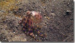 Blue-ringed Octopus, Zen resort, Bali,Indonesia