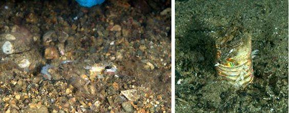 Bobbit Worm,  Anilao, Philippines