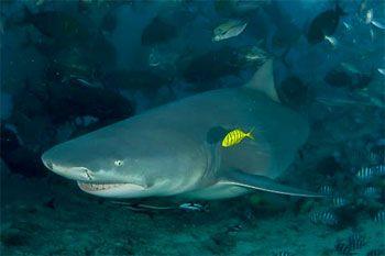 Bull Shark - photographed by underwater australasia member David Baxter
