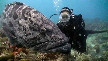 Diver gets close to a Potato Cod. Cod Hole, Great Barrier Reef, Australia