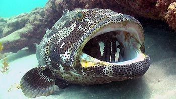 A Cod being cleaned. Blizzard Range, Ningaloo Reef, Exmouth, Western Australia