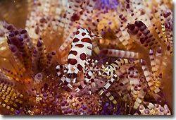 Colemans Shrimp, Lembeh Strait, Sulawesi, Indonesia