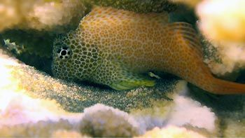 A normally shy Coral Blenny, protecting its eggs. Cod Hole, Great Barrier Reef, Australia